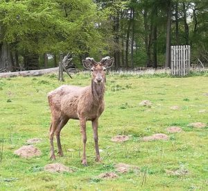 photo of A stag in the Normanby herd