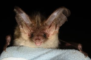 photo of a Brown long-eared bat