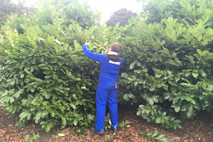 A student from North Lindsey College trims the Laurel bushes at Normanby Hall Country Park