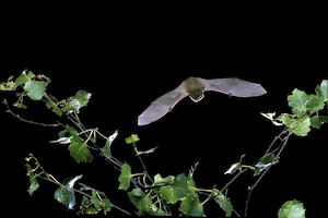 Pipistrelle in flight (©Hugh Clark / Bat Conservation Trust)