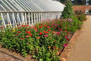 photo of The colourful display of Zinnias in front of the Vinery