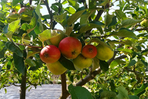 photo of Apples growing in the Walled Garden