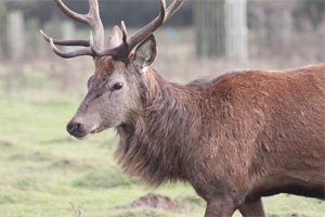 Photo of a deer stag at Normanby Hall