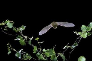 Pipistrelle in flight (©Hugh Clark / Bat Conservation Trust)