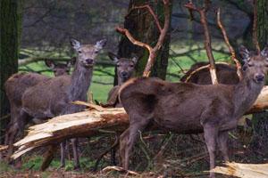 The Normanby deer